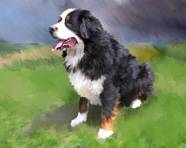 Pet Portraits of Wally, a Bernese Mountain Dog